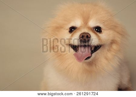 Closeup Portrait Of A Red Pomeranian Spitz Showing Tongue Against Grey Background