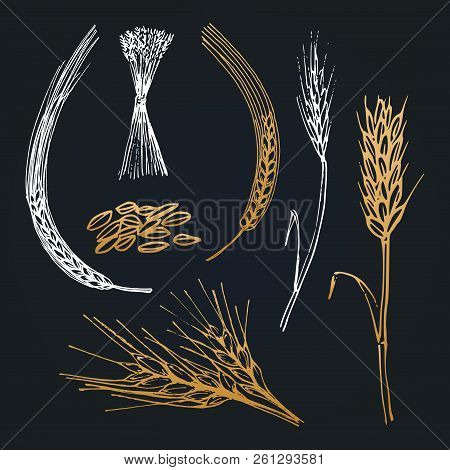 Spikes And Ears Of Wheat, Barley, Rye, Hand Drawn Collection. Vector Cereals Illustrations For Brewe
