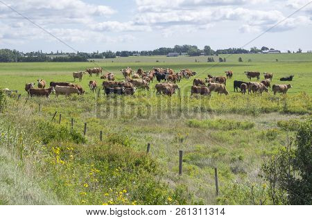 Big Group Of Cattles Grazing In The Field