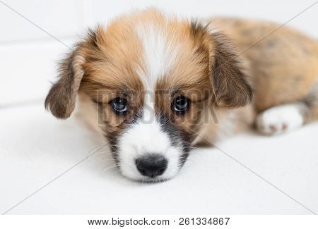 Cute Puppy Welsh Corgi Pembroke On  White Background. Portrait Of Beautiful Small  Puppy Dog  Close