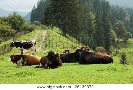 Cows And Bulls Resting On Hill Near Conifer Forest