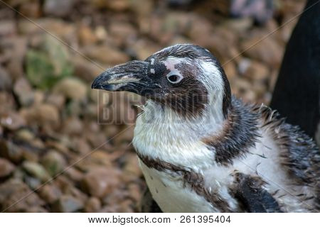 Penguin With Wet Feathers Walking On Dry Land