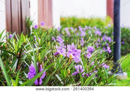 Purple Ruellias Flower In The Garden Near Concrete Fence In Soft Focus