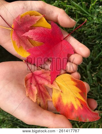 Colorful Red And Yellow Autumn Leaves In Little Hands.