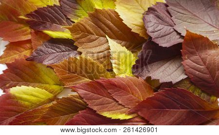 Autumn Leaves. Colorful Autumn Leaves Of Wild Grapes. Autumn Time. Autumn Wallpaper. Autumn Backgrou