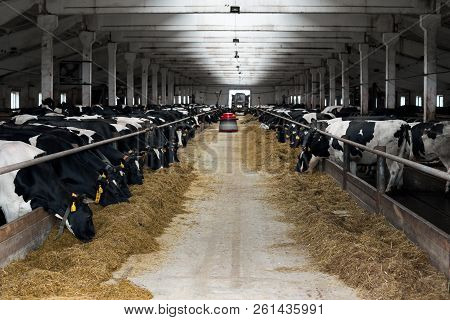 Black And White Cows Eating Hay In Cowshed On Dairy Farm. Cow Feeding. Agriculture Industry, Farming