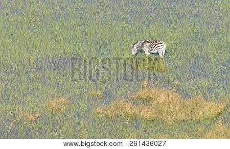 Wild African Zebra In The Okavango Delta - Botswana