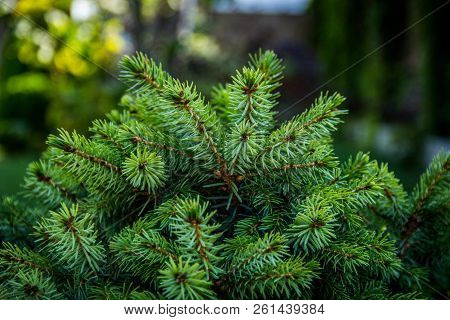 Young Conifer Branches. Fir-tree Background. Green Background