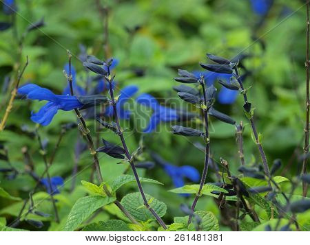 Salvia Guaranitica, The Black And Blue Salvia, Is A Water Wise Plant In Hummingbird Gardens. The Bea