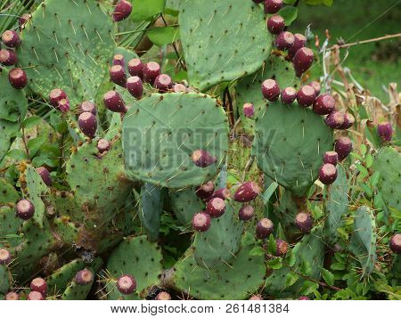 A Prickly Pear Cactus In Full Bloom. The Red Buds Will Open Into Yellow Flowers. This Plant Stands N