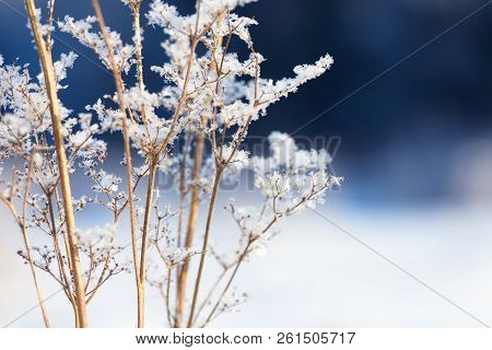 Grass Branches Frozen In The Ice. Frozen Grass Branch In Winter. Branch Covered With Snow