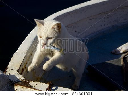 White Kitten Stole A Fish. Cat With Fish In His Teeth. A Cat On A Yacht Stole Sea Fish From A Fisher
