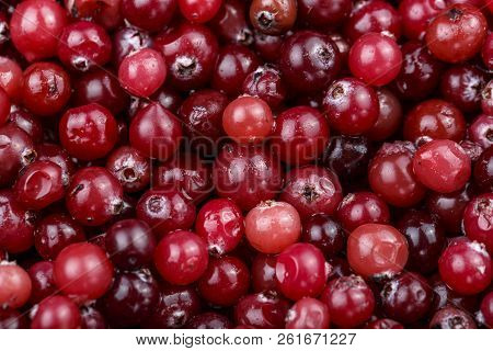 A Lot Of Fresh Cranberries Are Scattered As A Background. Place For Text. Vitamin Berry For Winter