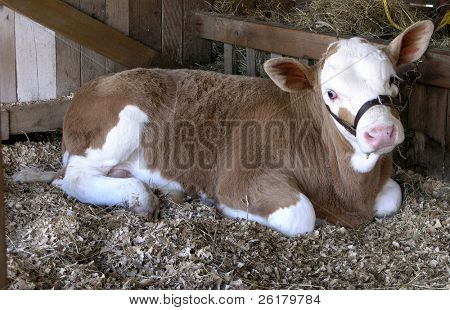 Ternero Simmental