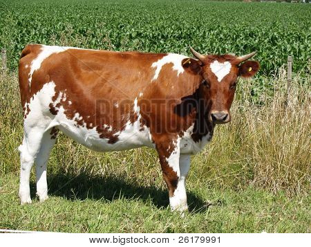 Ayrshire Heifer
