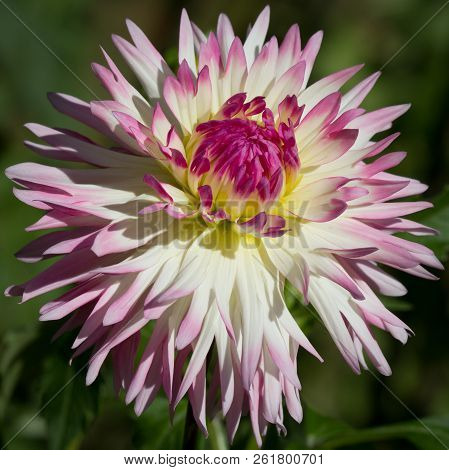 Closeup Of A Pink Pastel Colored Dahlia Flower - Sunny Bright Look And Feel