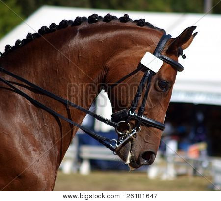 Close up of the head of a bay dressage horse