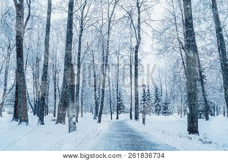 Winter landscape with snowy trees along the winter park alley - winter snowy scene in cold tones. Winter landscape scene with snowfall, picturesque winter alley in cold winter day