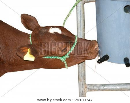 Ayrshire Calf Having a Feed isolated with clipping path