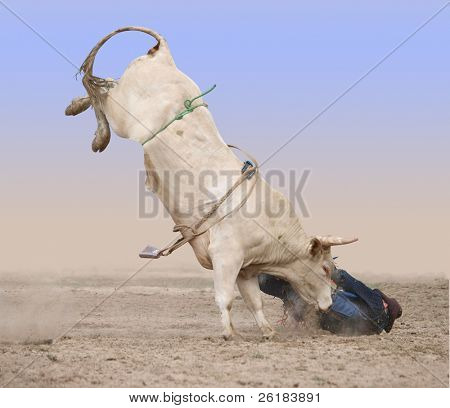 Charolais Bull with Rider on the Ground Isolated with clipping path