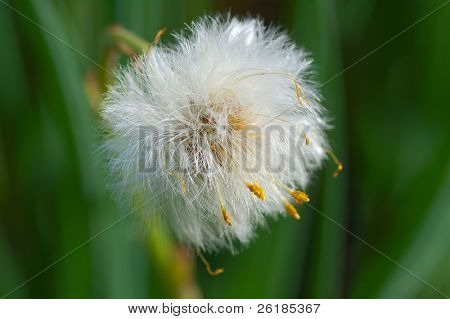white fluffy coltsfoot  macro on green background