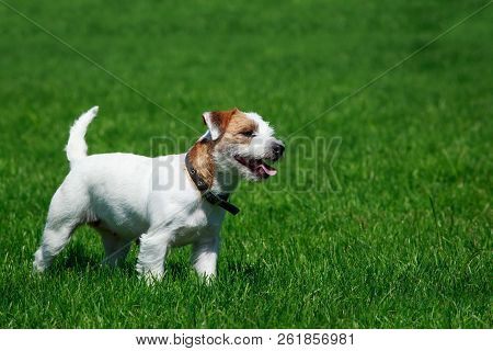 Dog Breed Parson Russell Terrier On Green Grass