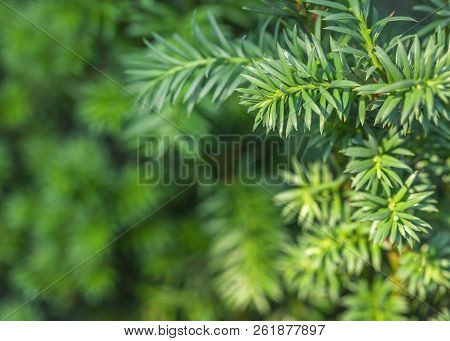 Blurred Background From A Spiny Green Rosemary Plant Close Up. Spruce Twig Backdrop With Copy Space.