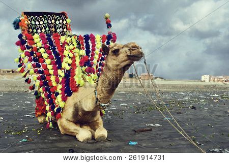 Beautiful Camel Sitting On The Sand At Clifton Beach, Karachi, Pakistan 21/09/2011