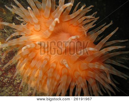 side view of orange short plumose sea anemone metridium senile