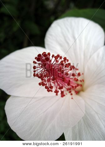 white hibiscus flower in maui hawaii