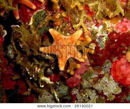 small orange starfish on rock wall underwater