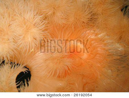 orange plumose sea anemone metridium senile; macro