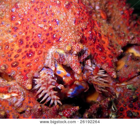 Red Puget Sound king crab feeding, macro; Barkley Sound, BC, Canada