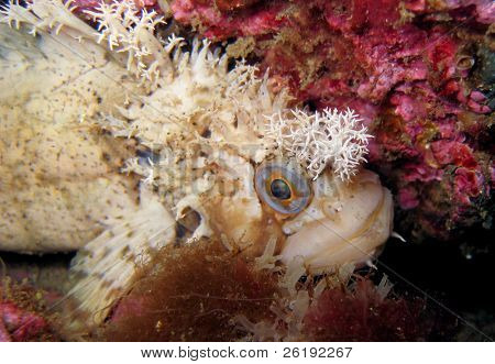 decorated warbonnet fish staring at camera, macro; Barkley Sound, BC, Canada