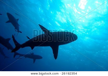 Sharks silhouetted against blue sunlight; Great Barrier Reef, Australia