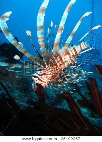 Lionfish swimming into feather star; Great Barrier Reef, Australia