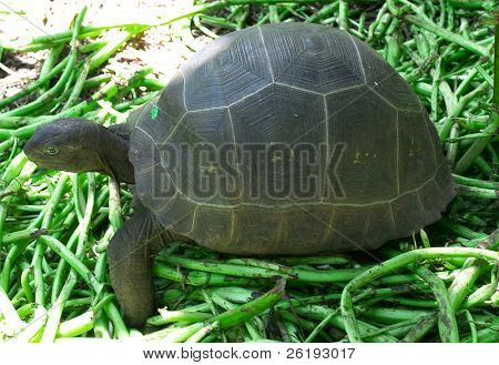 A young Aldabra giant tortoise (sp. Dipsochelys dussumieri) in the tortoise nursery on Fregate Island, in the Seychelles. The tortoise breeds in the wild but the young are vulnerable and if found are transferred to a protected area.