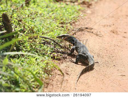 The Sri Lankan Water Monitor, Varanus salvator salvator. Full grown specimens can reach 3m length, making it the world's second-largest lizard.