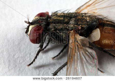 REALLY big close-up on a deceased housefly