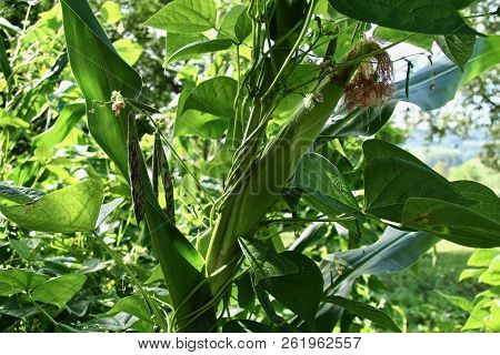Beans Companion Planted And Growing Up Corn Plants In A Garden