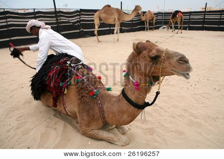 A bedouin herdsman saddles a camel during a cultural exhibition in Doha, Qatar.