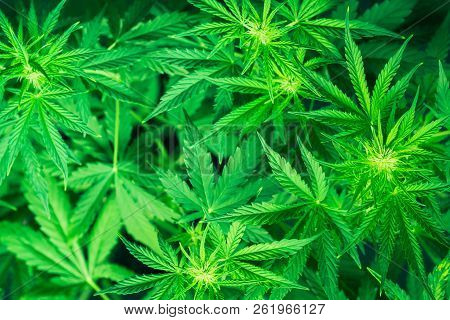 Marihuana Plants Close Up. Green Background. Growing Indoor Cultivation. Planting Weed. Top View. Me