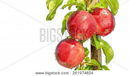 Bunch Of Red Apples On A Branch With Green Leaves Close-up Isolate On A White Background. The Concep