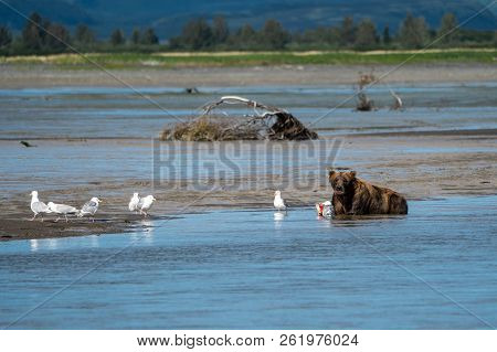 Alaskan Coastal Brown Bear (grizzly) Eats A Salmon Fish He Caught While Laying In A Riverbed In Katm