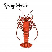 Spiny lobster. Crustaceans. Seafood. Vector illustration. Isolated image on white background. Vintage style. poster