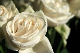 White Roses 2