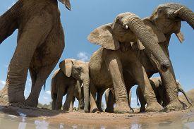 African Elephants. Close up view Elephant herd in Kenya