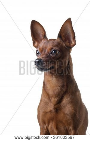 Dog On A White Background. Russian Toy Terrier. In A Studio. Photo Of A Pet For Design.