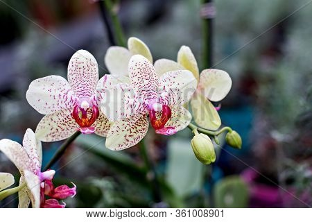 Beautiful Orchid Flower. Beautiful Purple And Yellow Orchid Flower - Phalaenopsis. Phalaenopsis Know