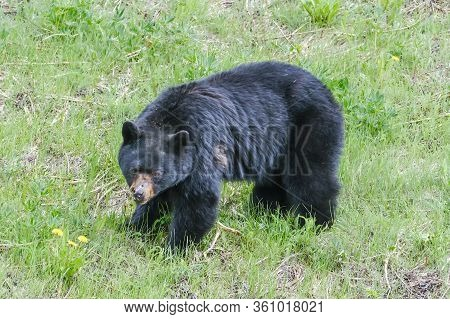 An Injured Black Bear In The Grass, Part Of The Nose Is Gone, Trees In The Background, Manning Park,